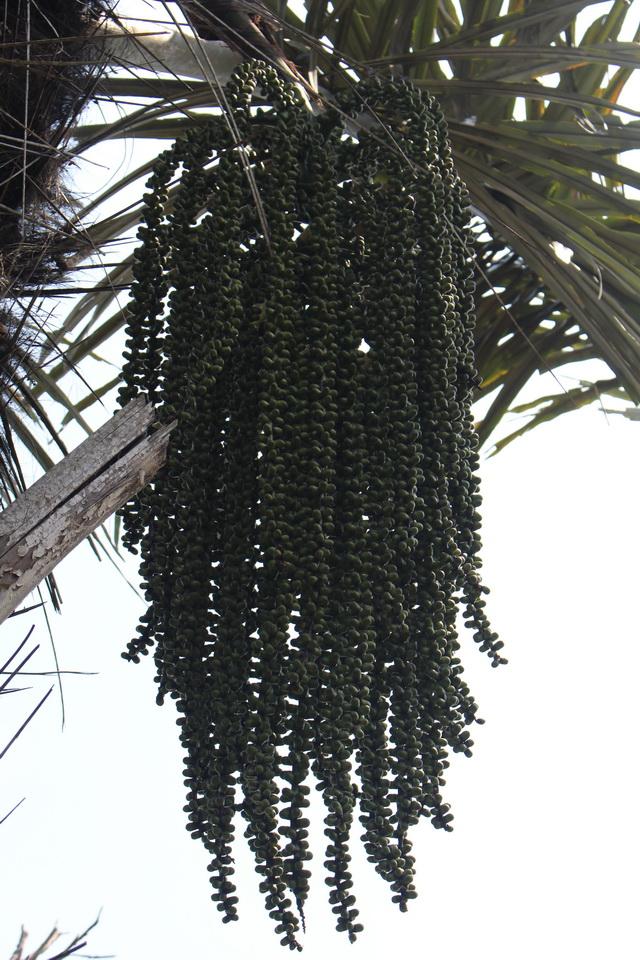 Pohon Aren Produk HHBK Hutan Desa Semende