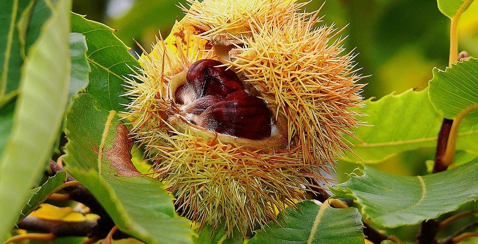 Kacang berangan atau chesnut yang juga tumbuh diwilayah semende