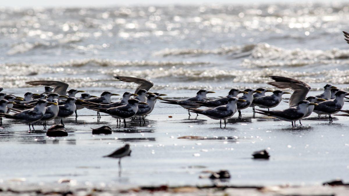 'Dara Laut Kecil' Dominasi Pemantauan Burung Migran Tahap Dua