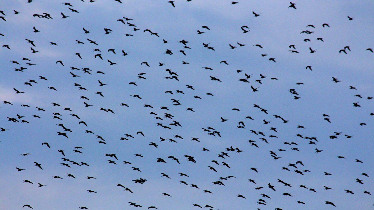 Parade burung migran