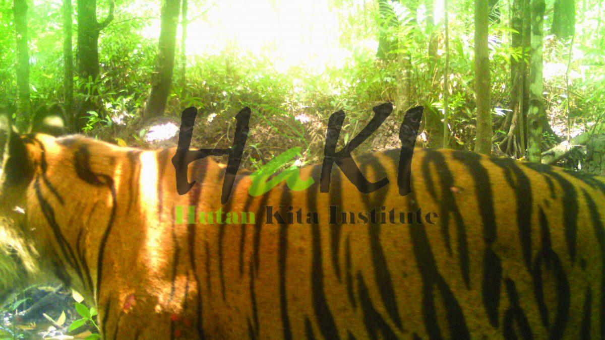 Harimau Sumatera di TN Sembilang Tertangkap Kamera Penjebak