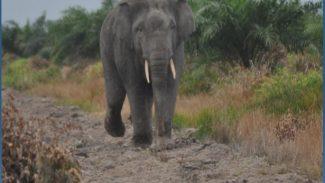 Tampak foto Gajah Sumatera Yang berhasil di abadikan tim HaKI, Foto : By HaKI